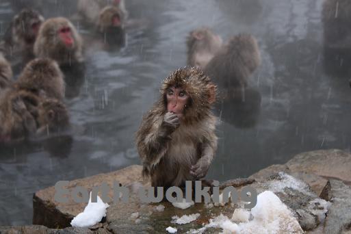 地獄谷野猿公苑で温泉に入浴しているお猿さん達