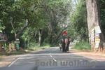 スリランカの道をあるくゾウ