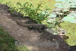 シーギリヤロック(Ancient City of Sigiriya)のトカゲ