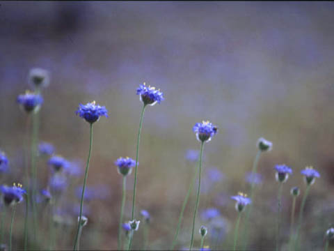 nativecornflower.jpg
