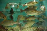 いけすの魚たち