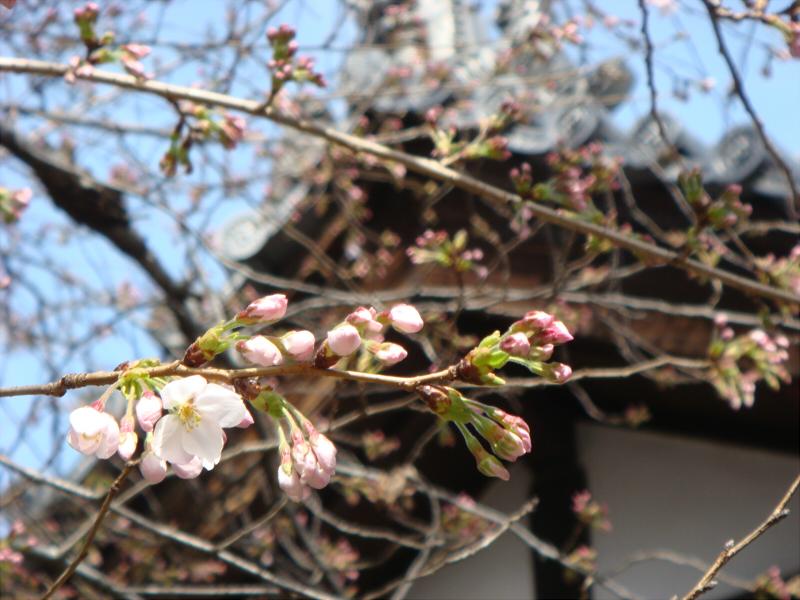 kyotosakura1.jpg