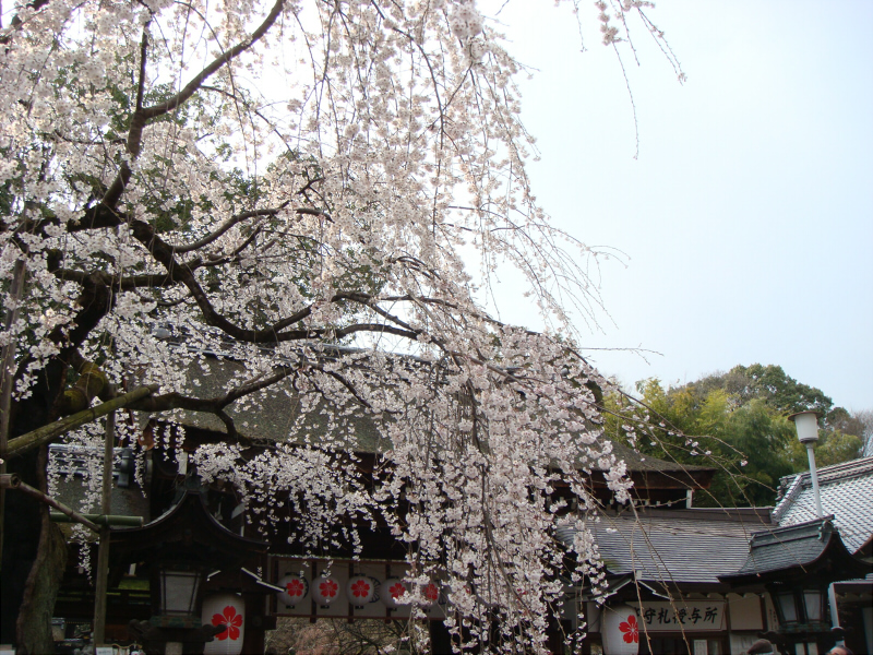 kyotosakura4.jpg