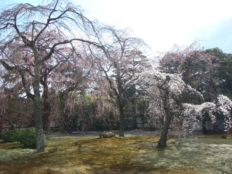 kyotosakura02.jpg