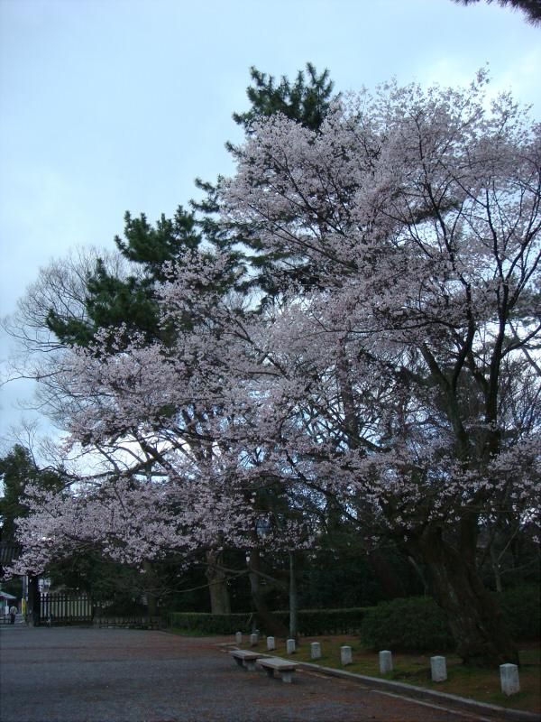 kyotosakura03.jpg
