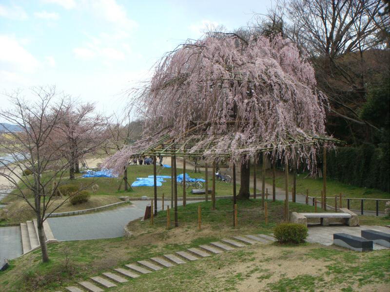 kyotosakura04.jpg