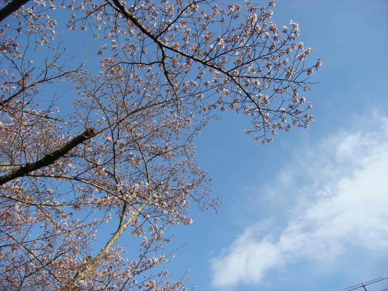kyotosakura06.jpg