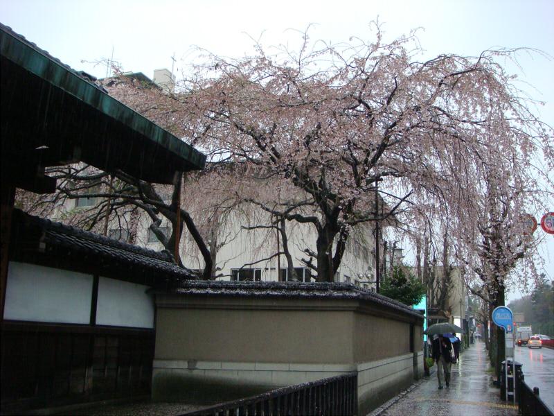 kyotosakura013.jpg