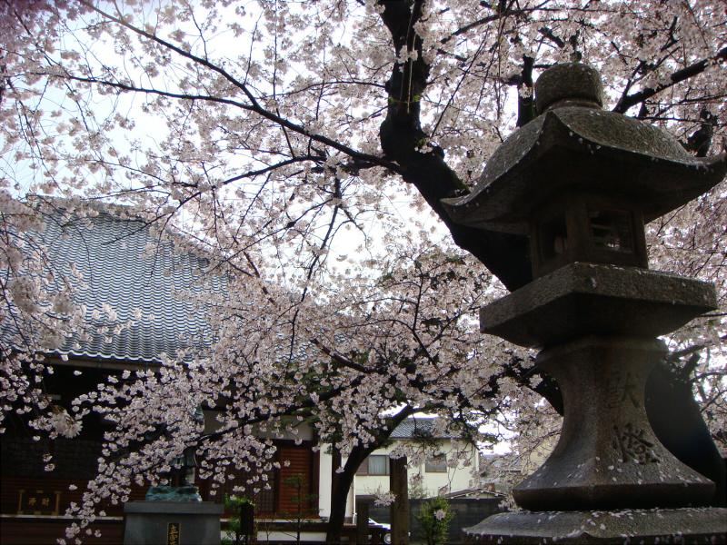 kyotosakura6.jpg