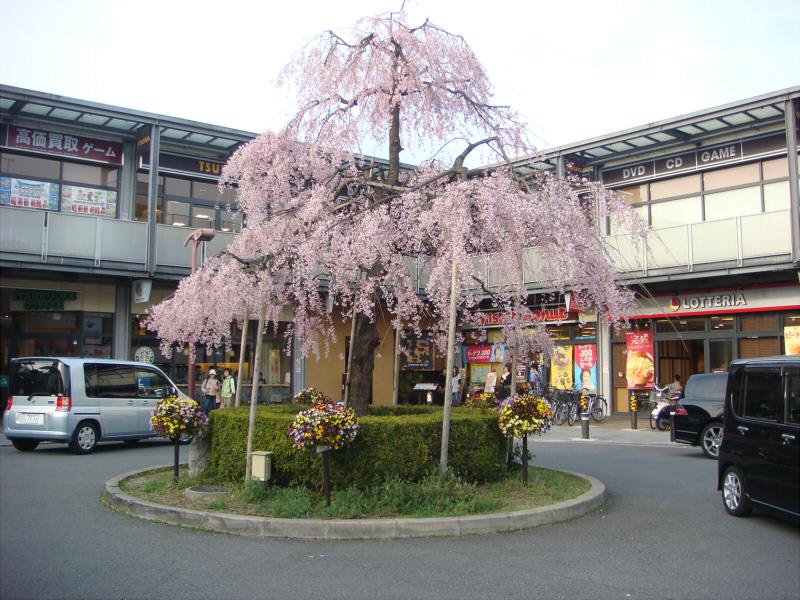 kyotosakura014.jpg