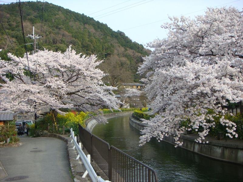 kyotosakura015.jpg