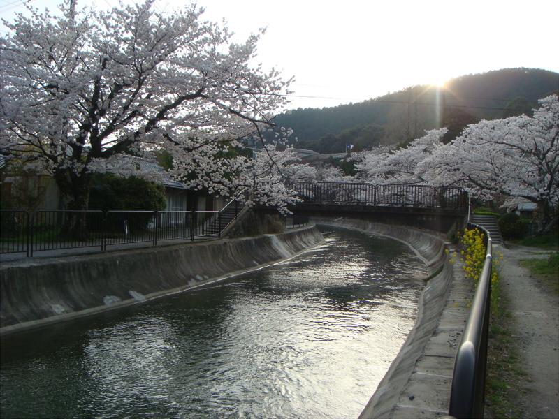 kyotosakura10.jpg