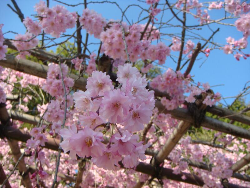 kyotosakura12.jpg