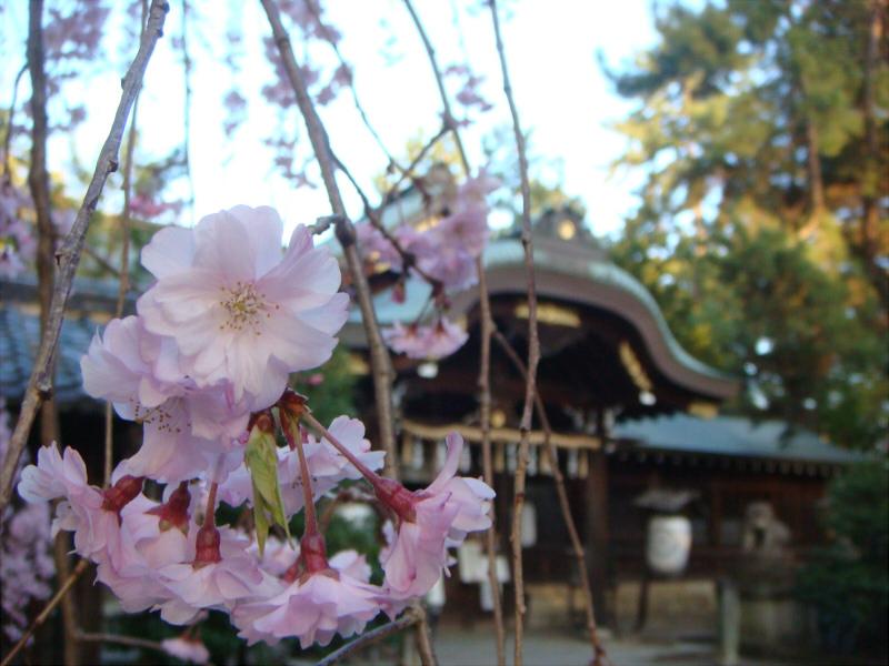 kyotosakura15.jpg