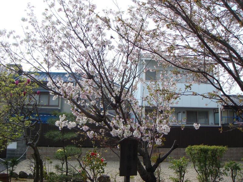 kyotosakura16.jpg