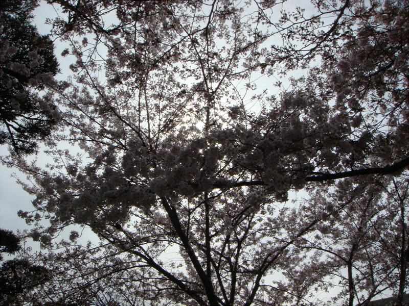 kyotosakura016.jpg