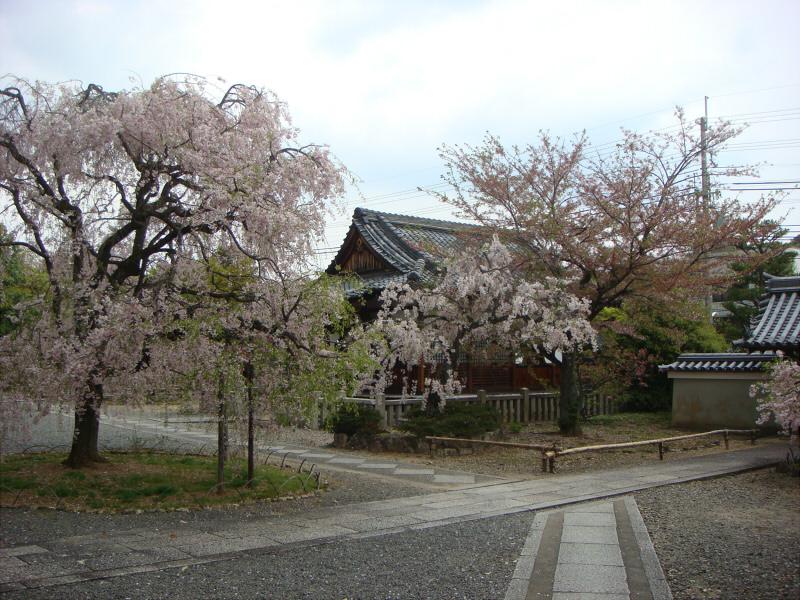 kyotosakura20.jpg
