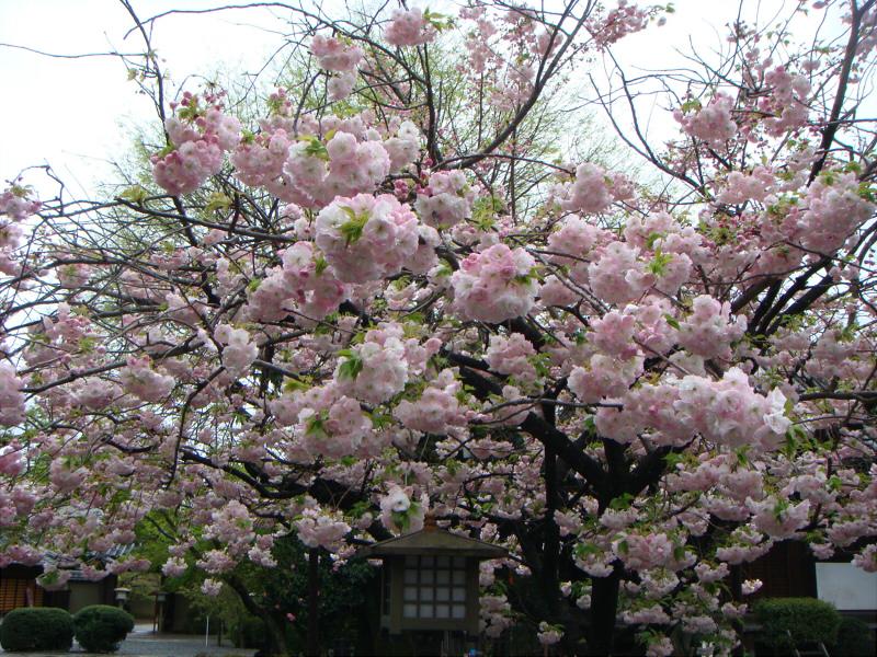 kyotosakura26.jpg