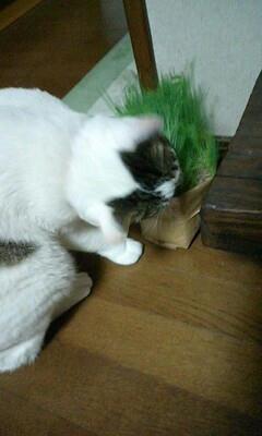 猫草をたべるカンちゃん