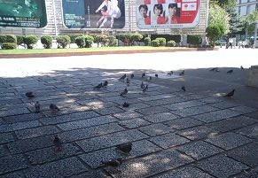 ハトがいっぱい!