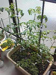 tomato0801_06.jpg