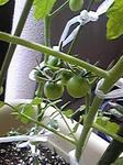 tomato0801_08.jpg