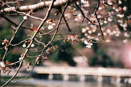 京都 嵐山 桜.jpg