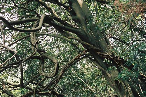 京都 清滝 変な木