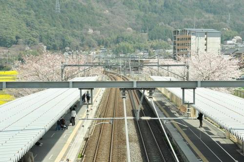 京都 馬堀駅 桜