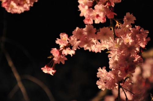 京都 嵐山 夜桜