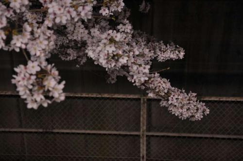 京都 馬堀駅 夜桜