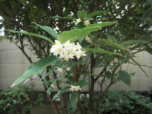 きんかんの花