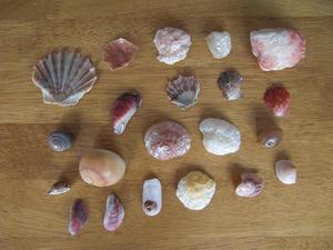 三浦海岸の貝殻