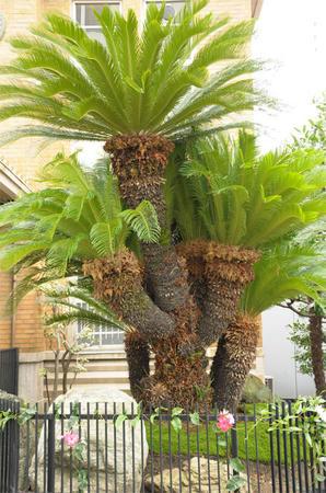 熱帯の木?