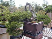 昭和記念公園 日本庭園盆栽苑