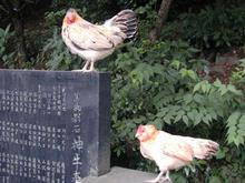 谷保天満宮のニワトリ