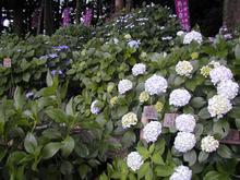 谷保天満宮の紫陽花