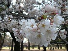 小金井公園 たてもの園前トイレ前の桜