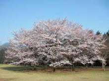 小金井公園 子供広場の桜