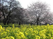 小金井公園 さくら園