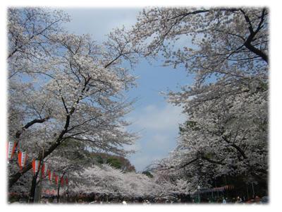 上野の桜2