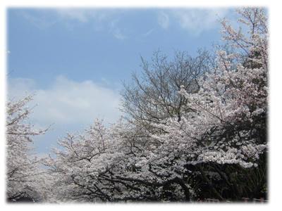 上野の桜3