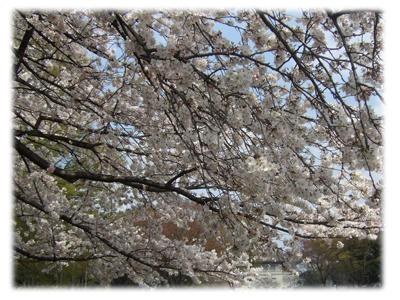 上野の桜4