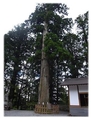 三本杉のうちのひとつ