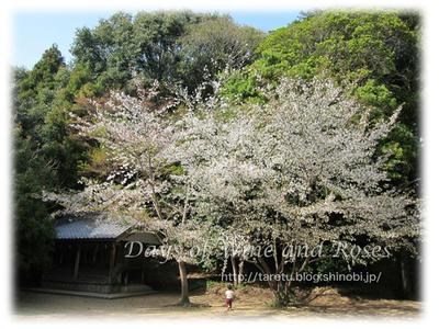 桜井の桜2
