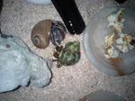 ポップコーンを食べるオカヤドカリ