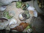オカヤドカリと貝殻