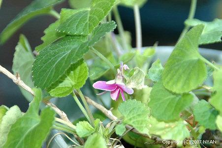 ニオイスミレ (Viola odorata)