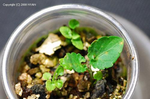 不明の菊葉系雑種