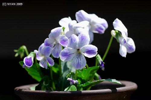 不明種(白に鮮やかな紫が滲む花、葉は粗い鋸歯を持つタイプ)